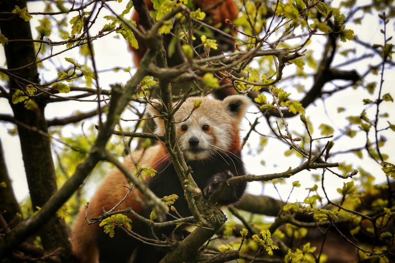 tree, branch, red panda, one animal, nature, animal wildlife, outdoors, focus on foreground, animals in the wild, day, mammal, low angle view, looking at camera, animal themes, no people, close-up, portrait, panda - animal, sky
