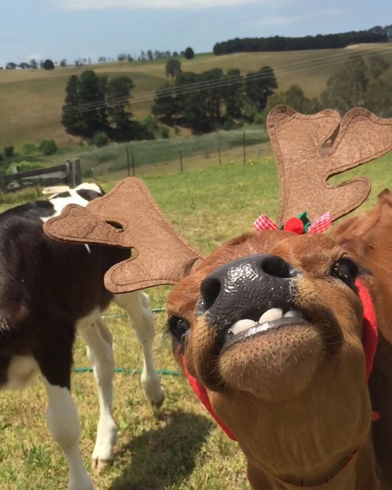 My baby cows reindeer impersonation 😂😂 Merry Christmas 🎄 to all my followers and likers🎄 may 2017 be kind to you all 😁 Animal Themes One Animal Livestock Domestic Animals Outdoors No People Check This Out Capture The Moment Cow Poddycalf Reindeer In Disguise