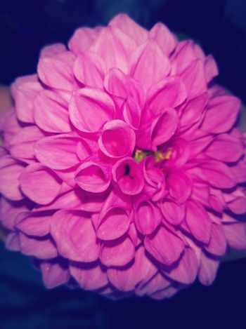 Flower Close-up Nature Petal No People Pink Color Beauty In Nature Fragility Plant Freshness Flower Head Outdoors Day