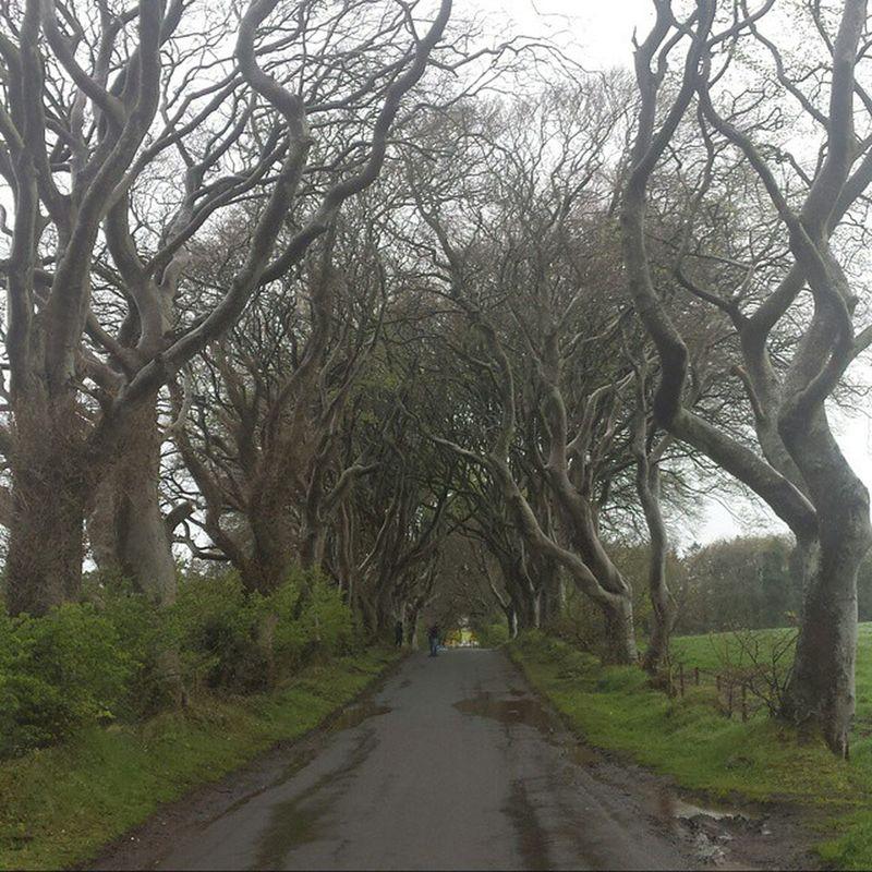 Not a hedge in sight..lots of bendy trees through. Gameofthrones DarkHedges Filmset Ireland Northernireland Naturelover Rainyweather Nature Beautiful LoveNature Rain days Nofilter