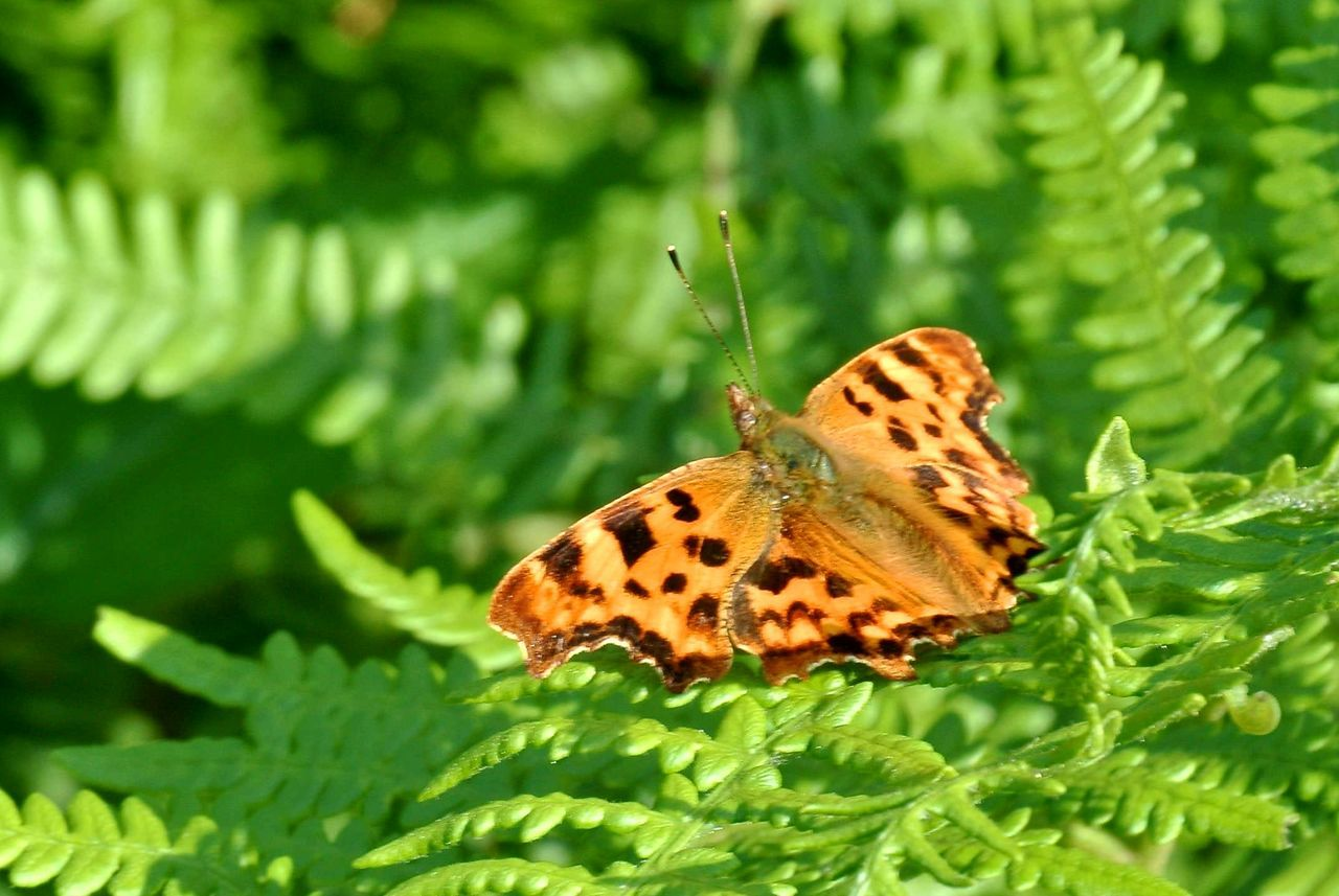 one animal, animal themes, insect, green color, butterfly - insect, leaf, animals in the wild, butterfly, plant, nature, day, outdoors, close-up, no people, growth, animal wildlife, beauty in nature, fragility, animal markings, perching, freshness, spread wings