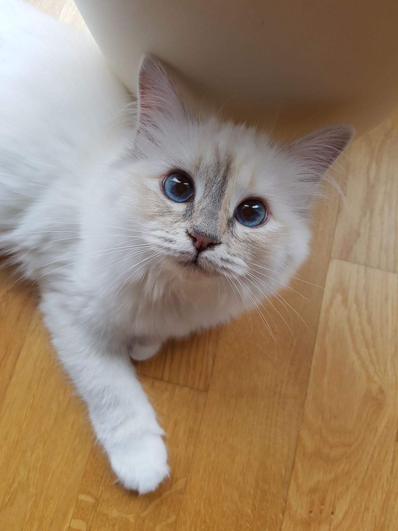 Domestic Cat Pets Katze Birmakatze Cat Blaue Augen Birman  Kitten Looking At Camera Love