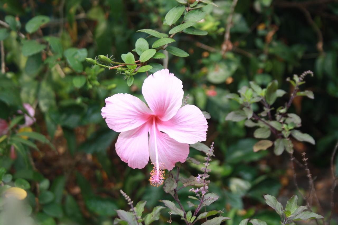 Pink Hibiscus Blooming In Garden