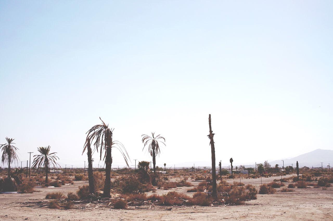 Dead Palm Trees On Barren Land