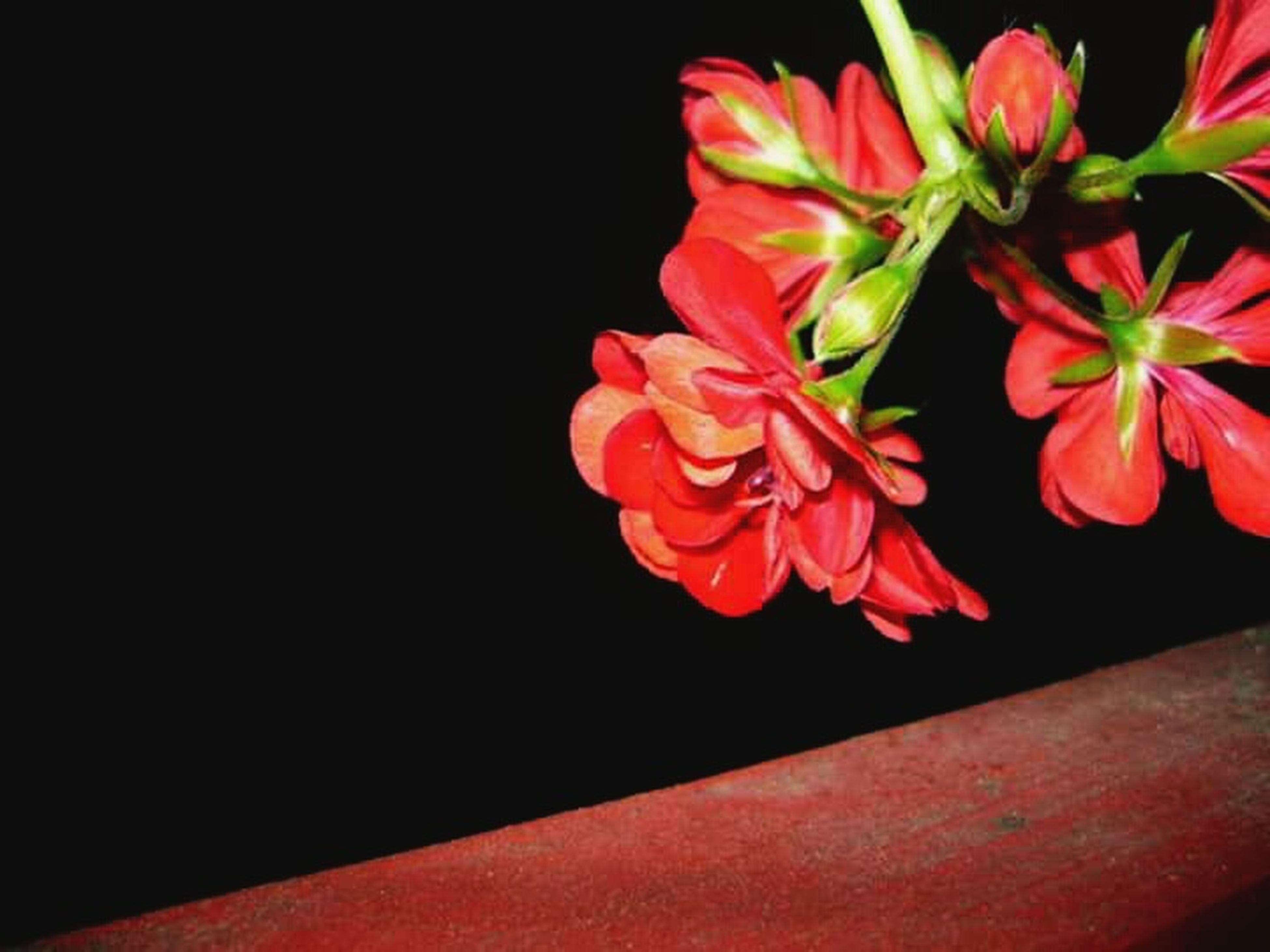 flower, black background, flower head, studio shot, nature, close-up, beauty in nature, freshness, blossom, fragility, multi colored, no people, pistil, outdoors, day