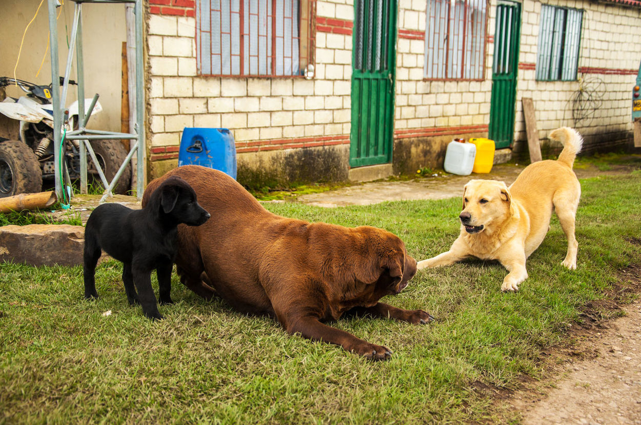 Three different colored Labradors playing together Adorable Animal Blackandwhite Browm Canine Chocolate Cute Day Dog Doggy Dogs Grass Happy Hound Lab Labrador Mammal Outdoors Pedigree Pet Pets Puppy Purebred Retriever Young