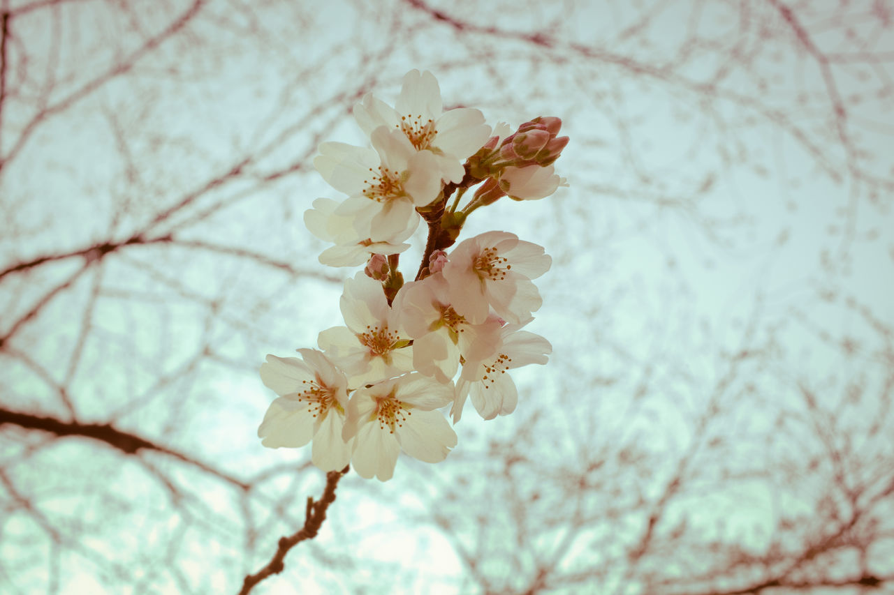 Beauty In Nature Blossom Branch Cherry Blossom Close-up Day Flower Flower Head Fragility Freshness Growth Low Angle View Nature No People Outdoors Petal Sky Springtime Tree Twig