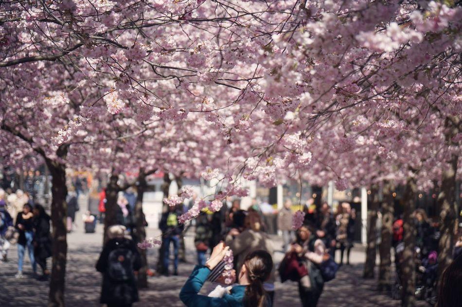 北欧の桜🌸 Pink Color Nature Stockholm, Sweden