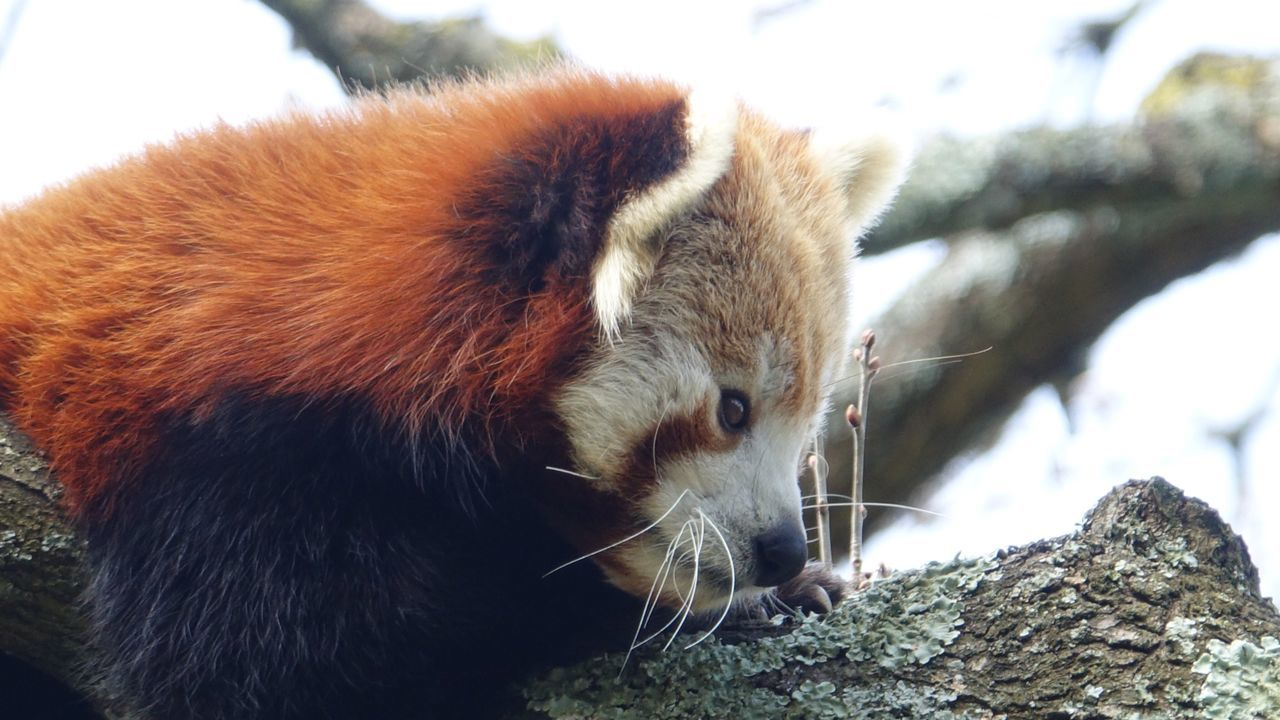 Red panda One Animal Animal Themes Animals In The Wild Red Panda Mammal Nature Animal Wildlife No People Outdoors Day Close-up Tree Sitting Red Zoo Animals