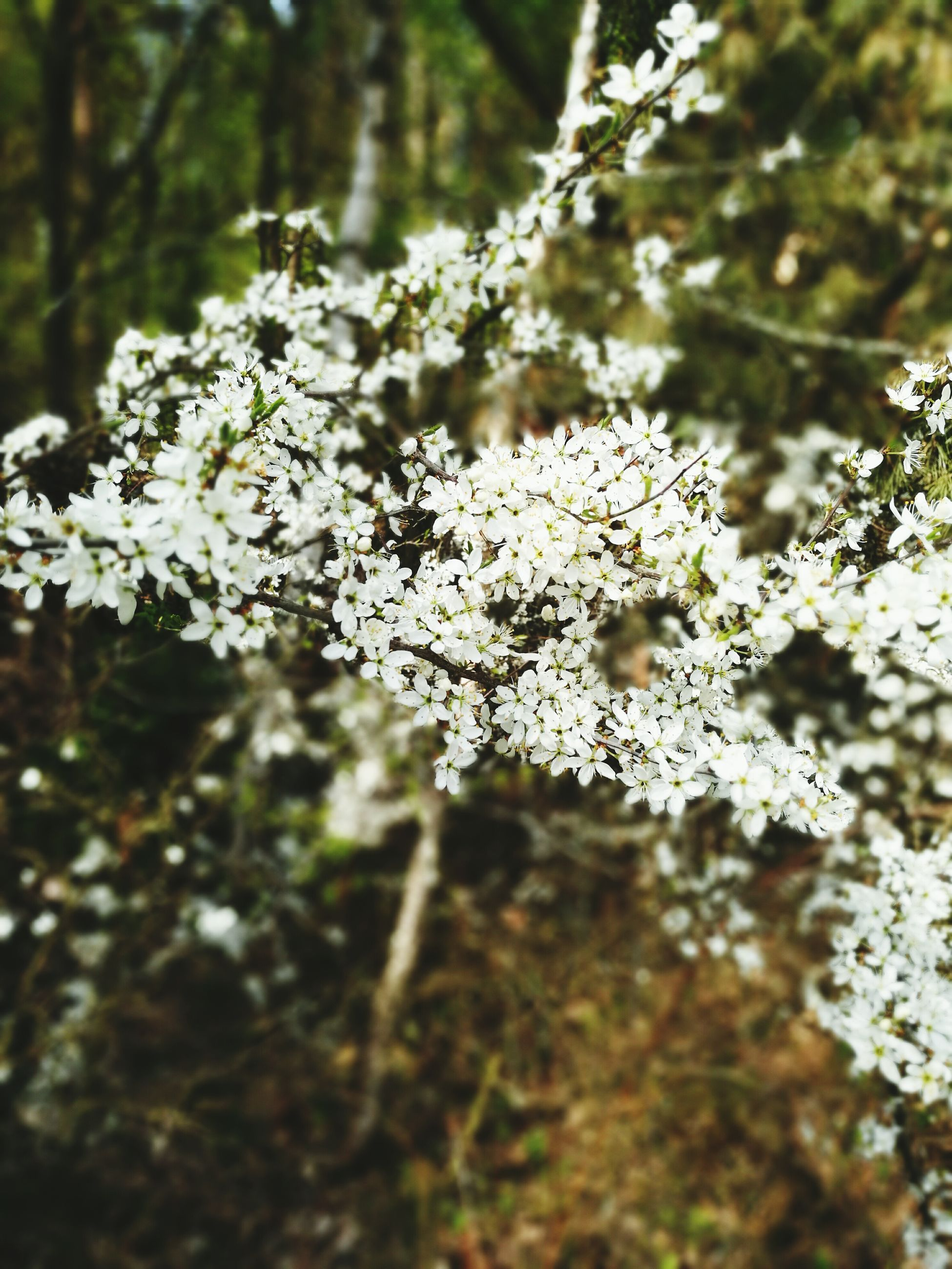 flower, white color, growth, tree, freshness, nature, beauty in nature, focus on foreground, fragility, close-up, branch, white, blossom, blooming, petal, selective focus, in bloom, plant, outdoors, day