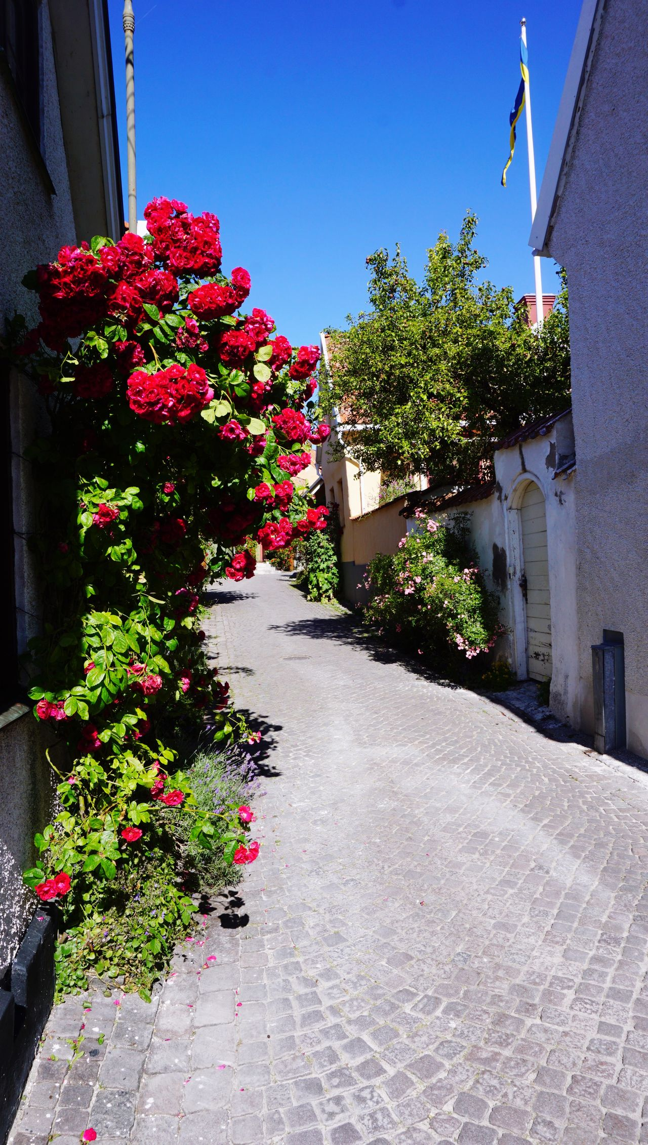 "Gotland is called ""Island of roses"" and it's Easy to understand why. Sweden Nordic Flowers"