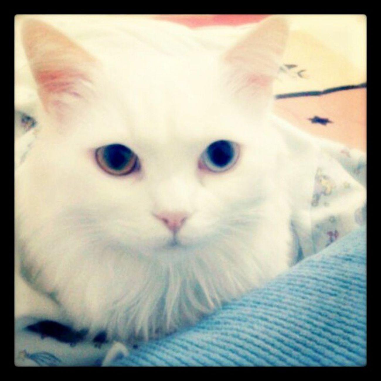 Uyucam bi bırakirsaniz bakışı :) Maya Mayukhan Cat Kedi balböcüğü