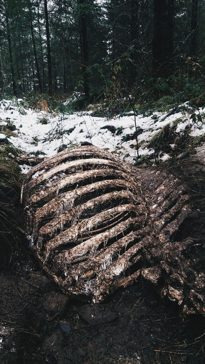 Forest Cascade Mountains Cascadia Nature Elk Skeleton Rib Cage Decay Snow Winter Evergreens Nature Textures