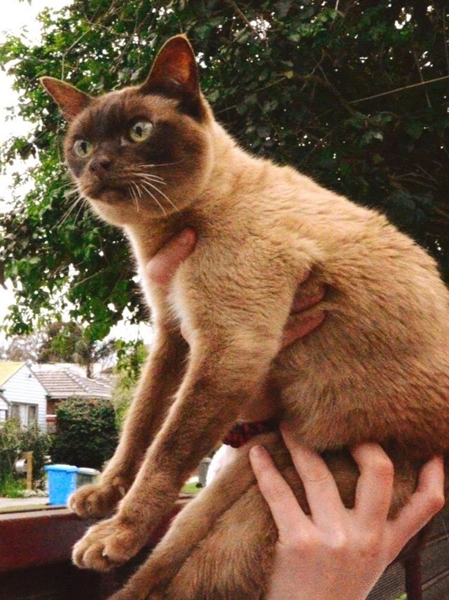 """""""WHAT DO YOU MEAN THERE'S LIFE PAST THE FENCE!!!!! Cat Pets Cat Lovers Animal Photography Burmese Burmese Cat Surprised Funny Moments Animal Lover Feline Funny Faces"""