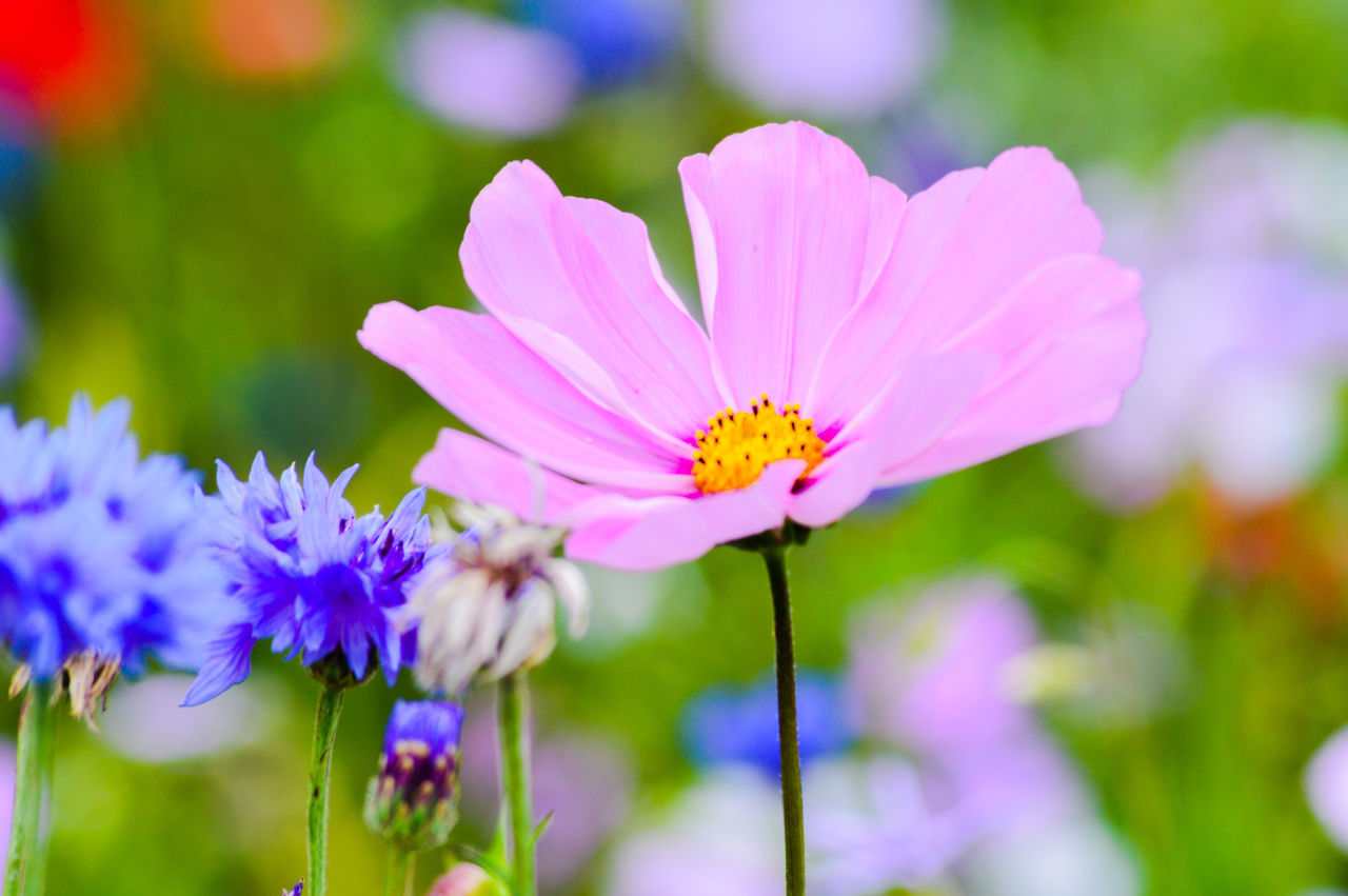 Beauty In Nature Blooming Close-up Day Flower Flower Head Focus On Foreground Fragility Freshness Growth Nature No People Outdoors Petal Pink Color Plant