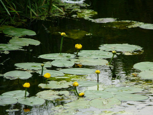 Somerset Levels Uk Nature On Your Doorstep Relaxing Taking Photos Water Lilies. Lilly Pads. Natures Diversities Nature Photography Yeah Springtime! Wild Flowers Nature Hedge Row Beauty