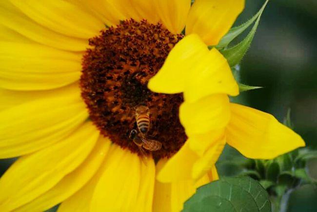 Flower Nature Yellow Welcomeweekly Beauty In Nature Sunflower Zen Garden