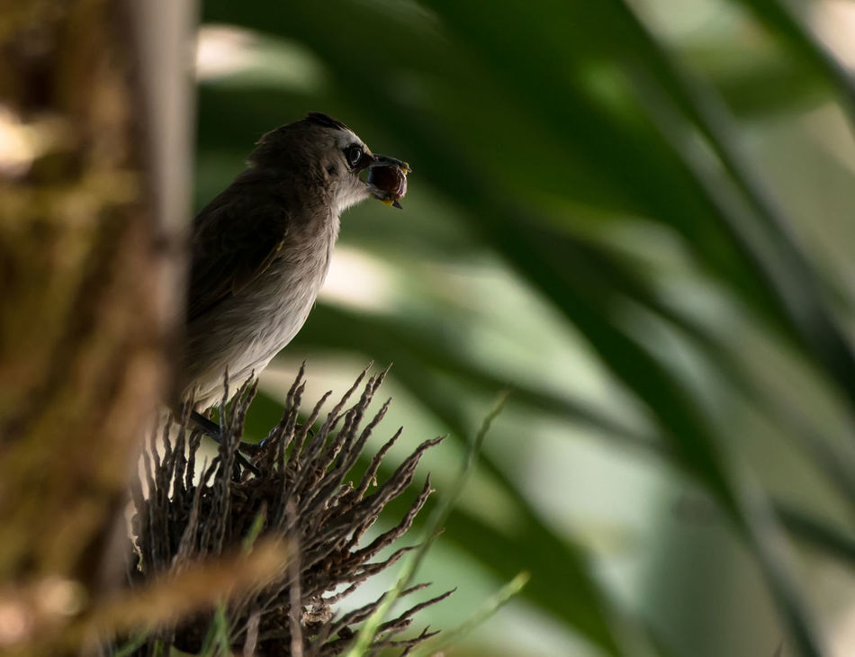 Yellow Vented Bulbul Beauty In Nature Bird Food In Mouth Hunt Perching Potrait Shadow Wildlife Yellow Vented Bulbul Nature's Diversities Nritzz Fine Art Photography
