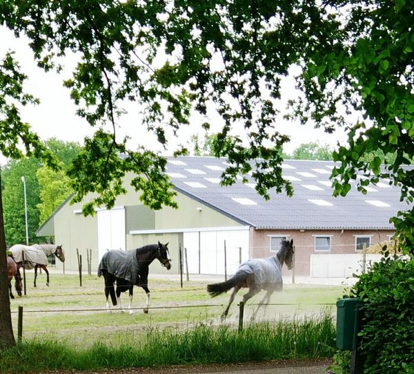 The Joy Of Spring Horses Paddock Springtime Playing Running Dusty Stables