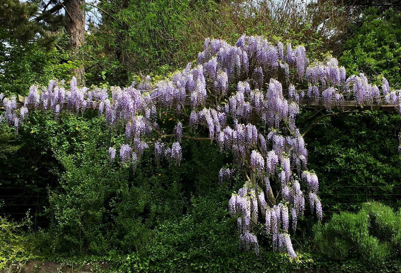 Wisteria Fabaceae Trailing Tree Growth Beauty In Nature Low Angle View Scenics Nature Branch Tranquil Scene Tranquility In Bloom Purple Plant Lush Foliage Freshness Green Flower Botany Fragility Day