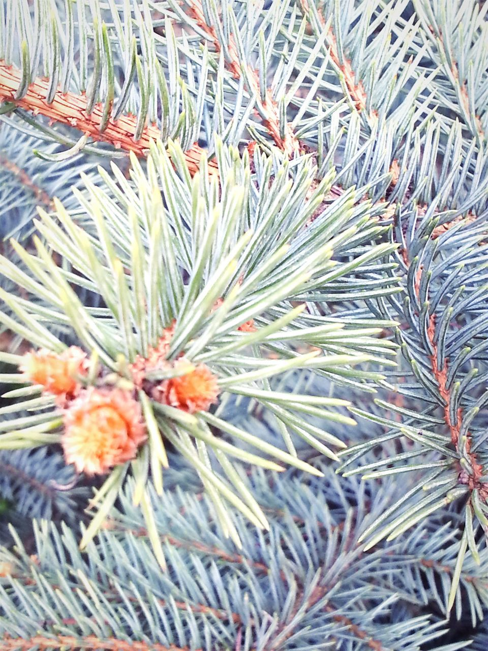 nature, plant, growth, beauty in nature, no people, pine tree, full frame, outdoors, backgrounds, day, freshness, close-up, tree