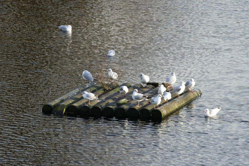 A group of gulls is standing on a piece of wood in the middle of a river Fly Gulls Reflection Swimming Animal Themes Animal Wildlife Animals In The Wild Backgrounds Bird Day Flying Lake Large Group Of Animals Large Group Of Gulls Nature No People Oceon Outdoors River Sky Spread Wings Swan Swimming Water Waterfront