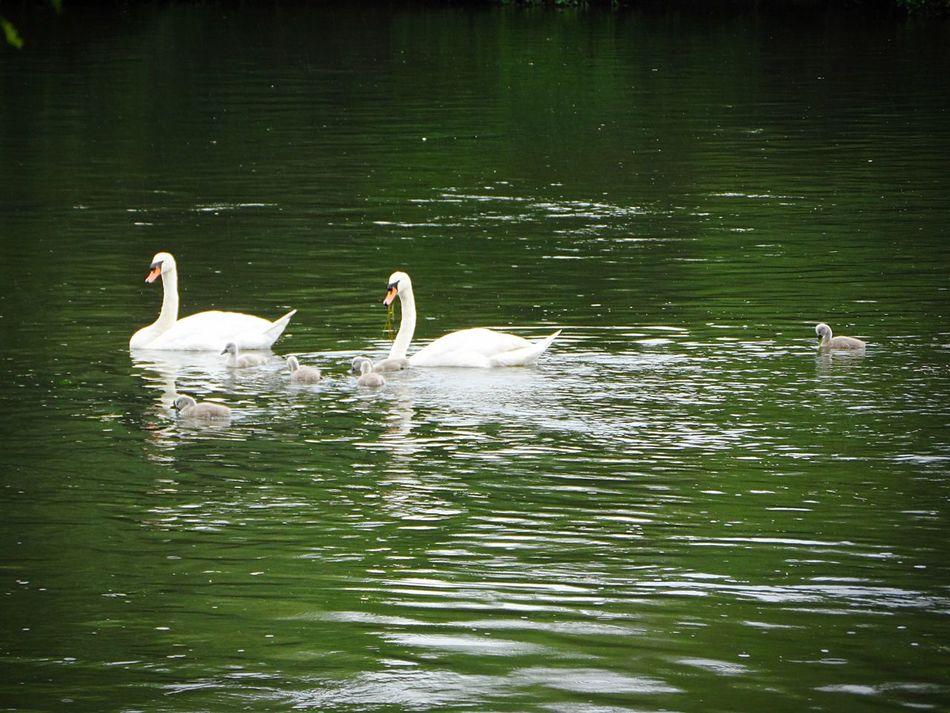 Nature Au Bord De L'eau En Balade Sur Les Chemins Cygnes Cygne The OO Mission