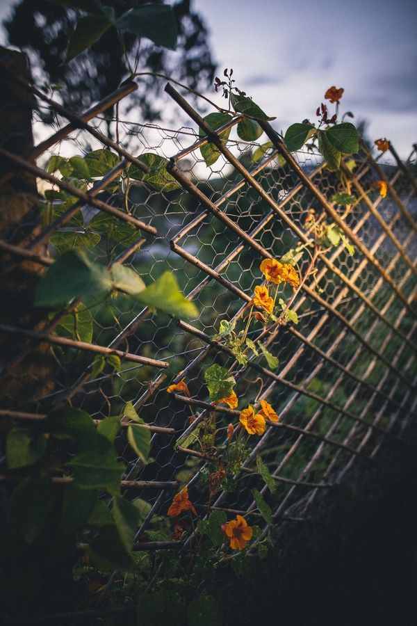 From the dirt a flower must grow. Growth Plant Leaf Focus On Foreground Beauty In Nature Outdoors Flower Growing Botany Nature Ezuml Available Light Tranquility Fence Fences Illuminated Words