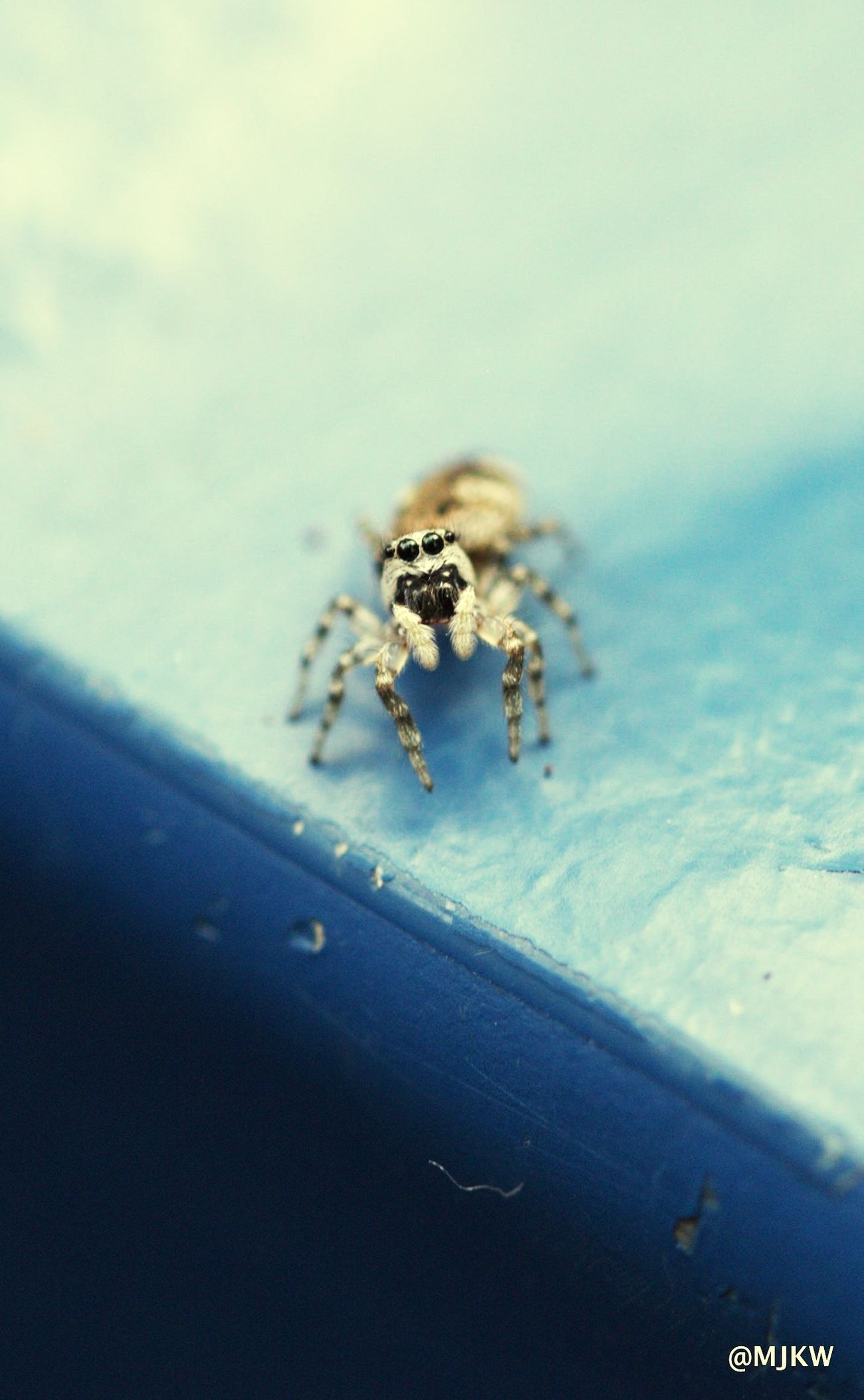 Hoi! Animals In The Wild Animal Themes Close-up Spider No People Outdoors Nature Jumping Spider Place Of Heart Beauty In Nature Focus On Foreground Wildlife & Nature