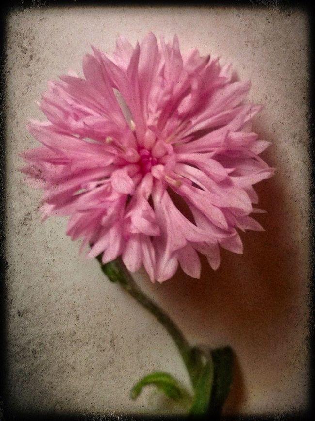 In My Garden Oklahoma Nature EyeEm Best Shots - Nature Tulsa, Oklahoma EyeEm Nature Lover Flowers Bachelor Buttons Bachelor Button