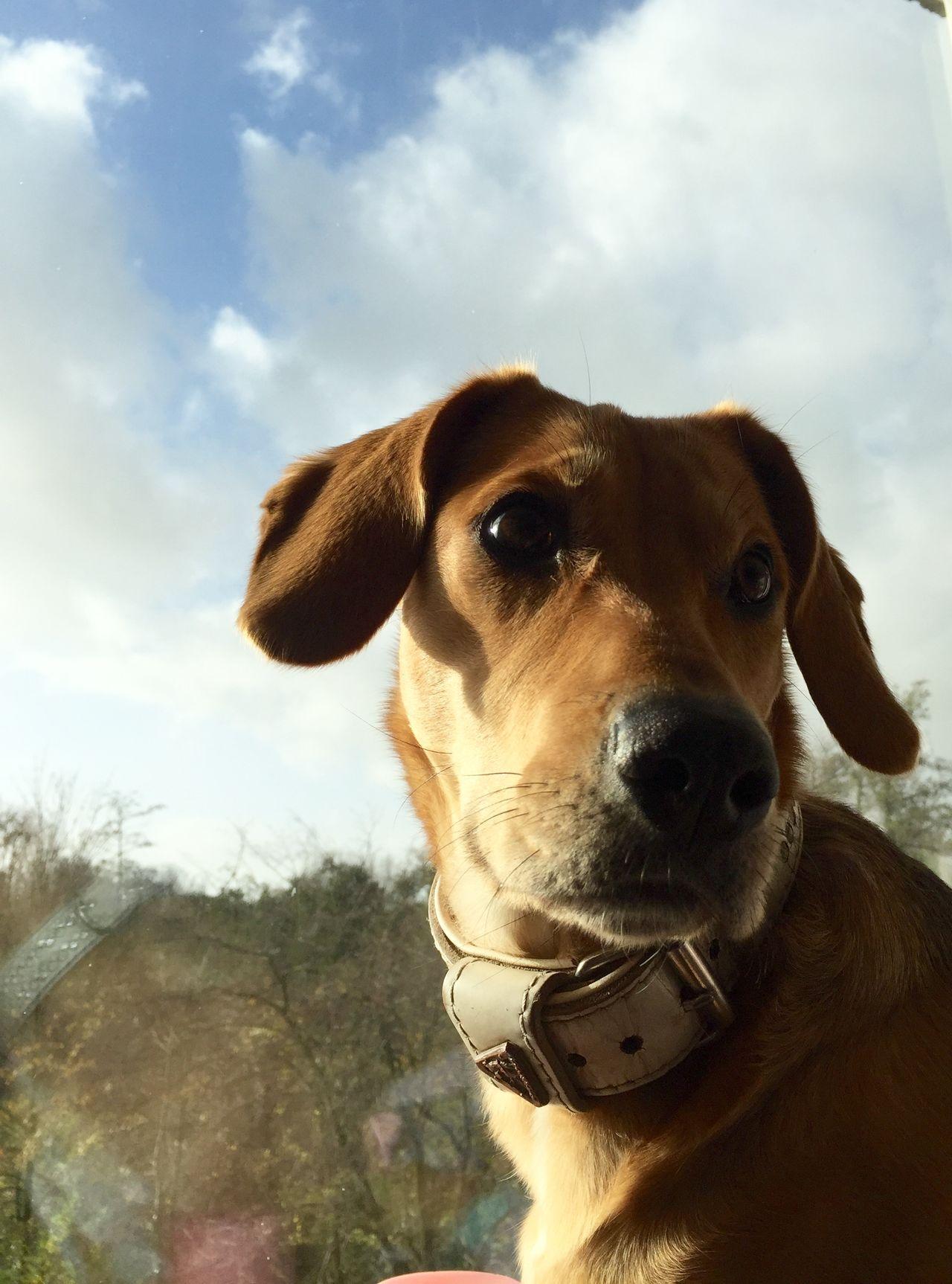 Showcase: November Hollandsnextdogmodel My Dog Clouds And Sky Cloudporn Cute Pets EyeEm Animal Lover Window Eyem Gallery IPhoneography