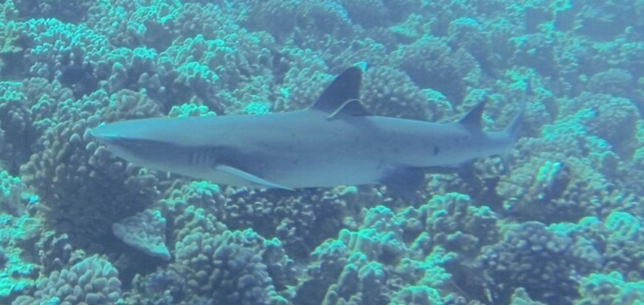 Shark Ocean Maui Hawaii Sea