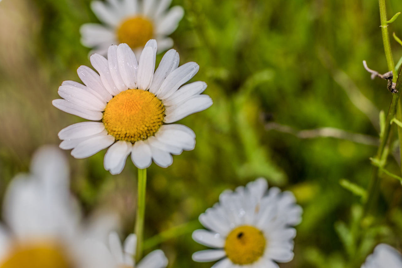 flower, white color, nature, petal, freshness, growth, beauty in nature, fragility, flower head, plant, blooming, no people, day, close-up, outdoors