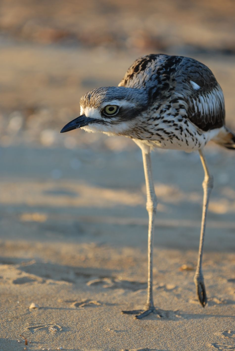 Bush Stone-curlew, or Bush Thick-knee, Burhinus grallarius Bird Bird Themes Burhinus Grallarius Bush Stone-curlew Bush Thick-knee Close-up Curlew Day Focus On Foreground No People One Bird Outdoors Standing