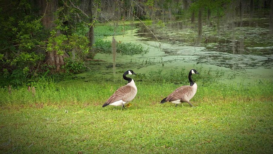 Geese Georgia Lake Blackshear Birds🐦⛅ Animals Samsungphotography Mobile Photography Park Mates Geese At The Lake