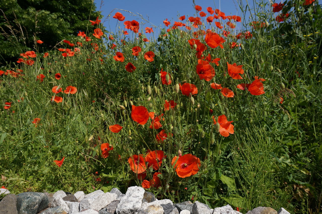 Poppy series . Growth Flower Red Nature Beauty In Nature Plant Outdoors Poppy Grass Summer Freshness Blooming Flower Head Sky Close-up