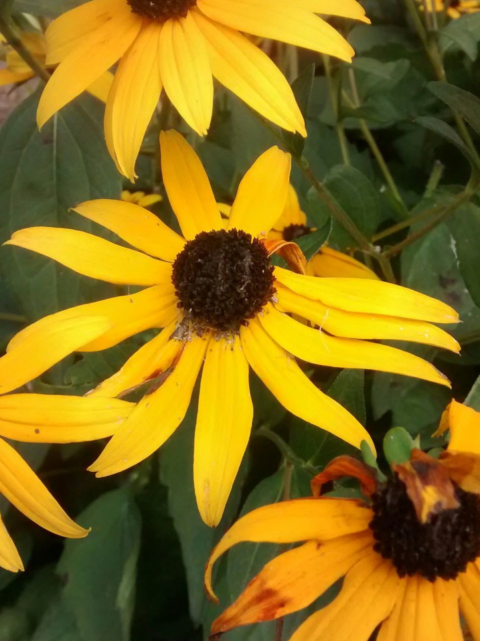 flower, petal, yellow, growth, fragility, flower head, freshness, plant, blooming, nature, beauty in nature, pollen, outdoors, day, no people, black-eyed susan, close-up