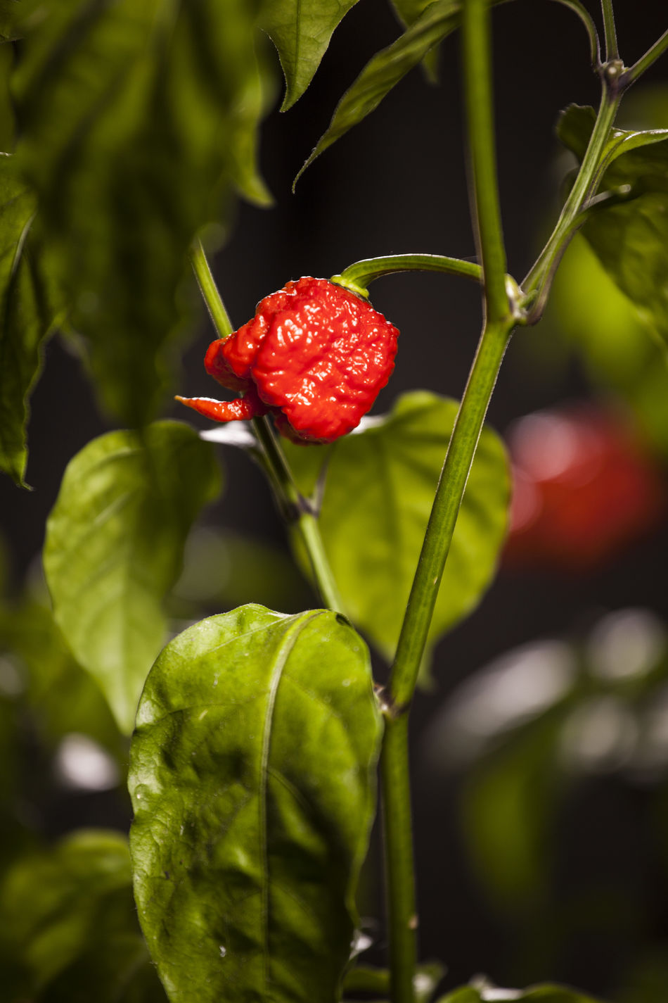 Agriculture Carolina Reaper Close-up Day Focus On Foreground Freshness Fruit Green Color Growth Hot Pepper Hot Peppers Plants Leaf Nature No People Outdoors Red