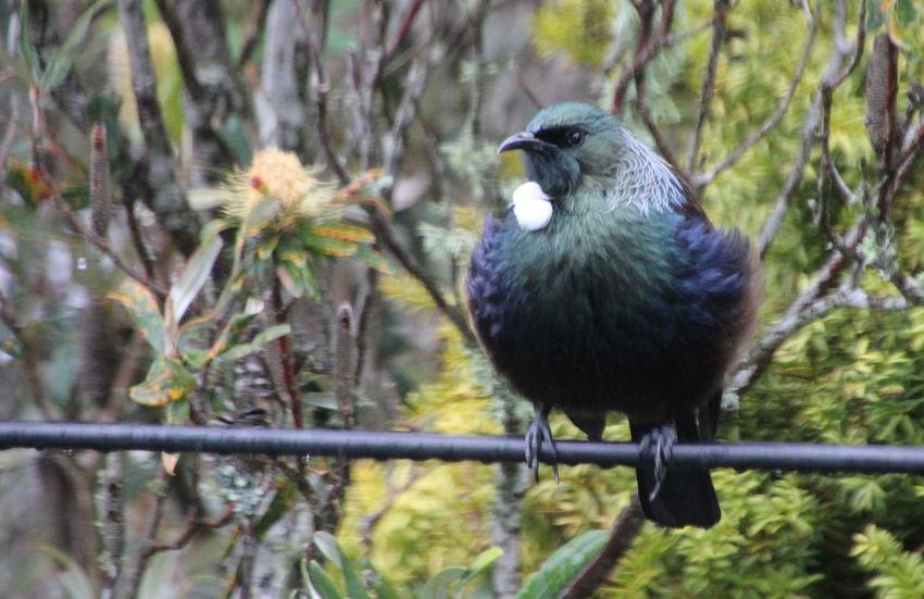 Bird on a wire... Native New Zealand Tui Beautiful Nature Bird Birds On A Wire Blue Green Native Bird Nativebeauty  New Zealand New Zealand Beauty New Zealand Scenery Tui