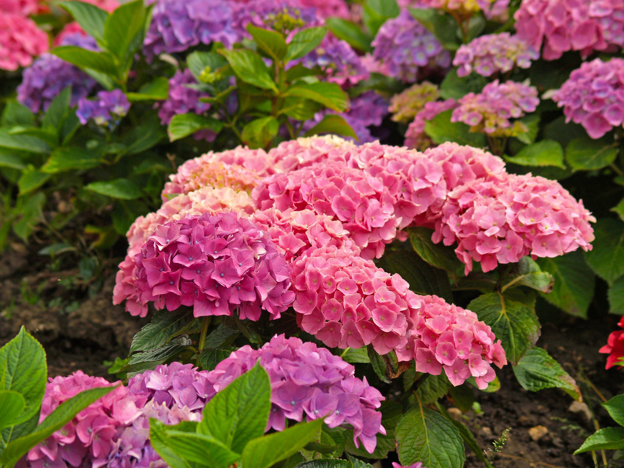 Beauty In Nature Blooming Close-up Day Environment Flower Flower Head Flowers Fragility Freshness Garden Hydrangea Hydrangea Flower Hydrangea In Bloom Leaf Nature Nature No People Outdoors Petal Pink Color Pink Flower Plant Spring Springtime