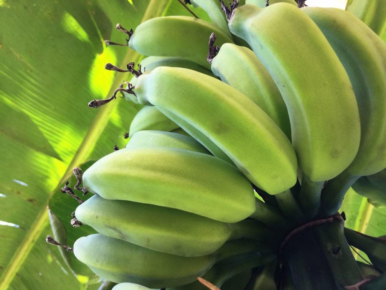 Backyard Bananas Fruit Florida IPhoneography Banana Bananas Green Bananas Green Banana