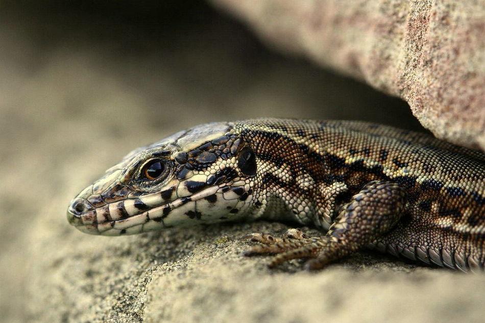 ops...... Close-up EyeEm Best Shots EyeEm Gallery EyeEm Nature Lover Focus On Foreground Lizard Macro Macro_collection Podarcis Sicula Reptile 529