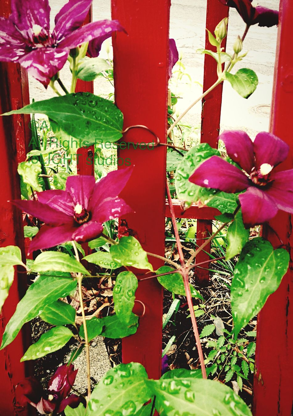©Ann Norsworthy Rigley Neighborhood Gardens 7 Clematis IoLIGHTstudios  Flowers,Plants & Garden Nature Schenectady, NY