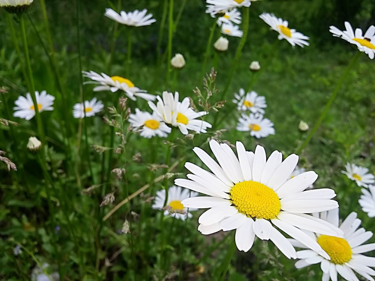 flower, nature, petal, growth, freshness, white color, beauty in nature, fragility, plant, blooming, field, flower head, day, outdoors, no people, grass, close-up, yellow