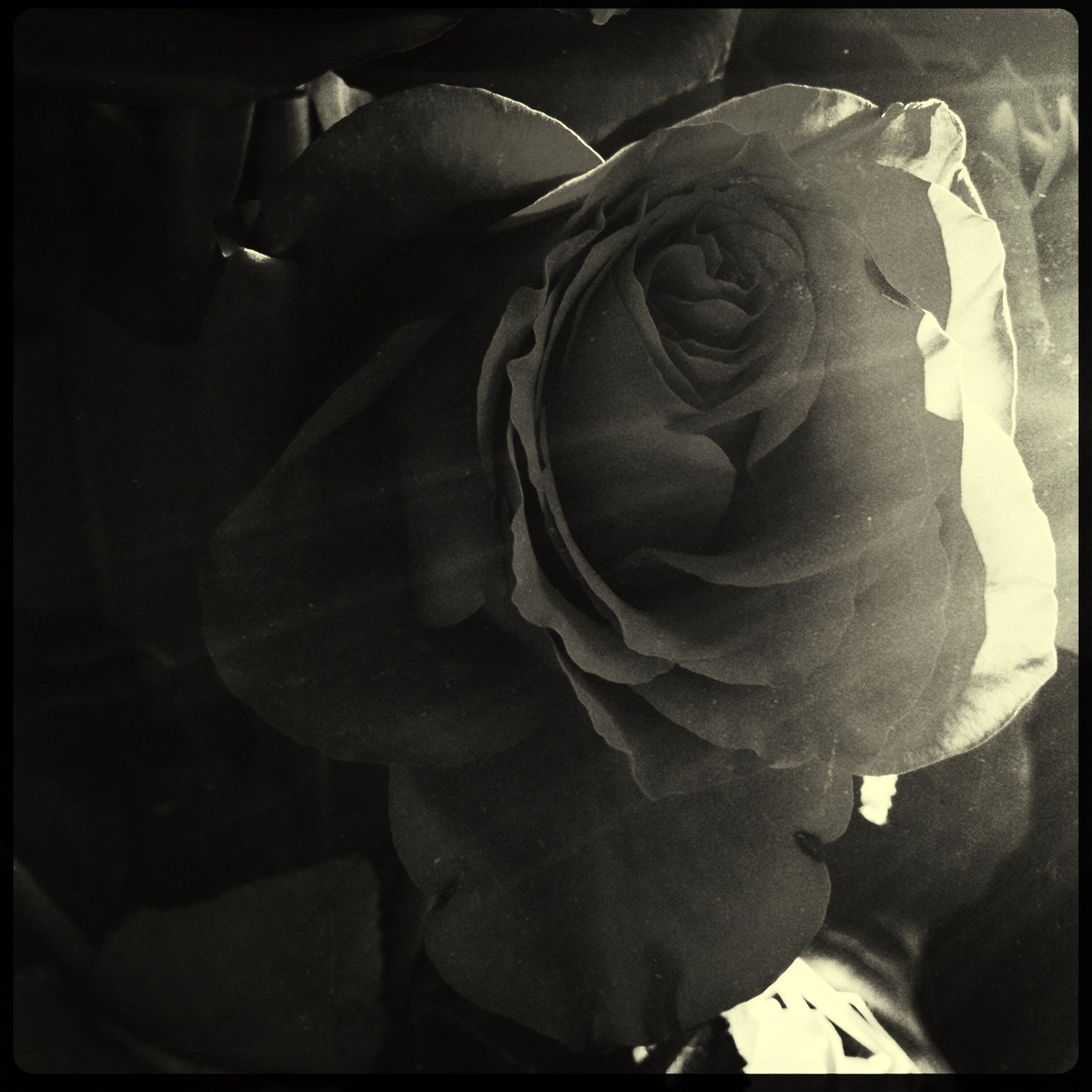 transfer print, auto post production filter, flower, close-up, petal, indoors, rose - flower, flower head, no people, art, fragility, day, art and craft, statue, focus on foreground, human representation, nature, creativity, rose