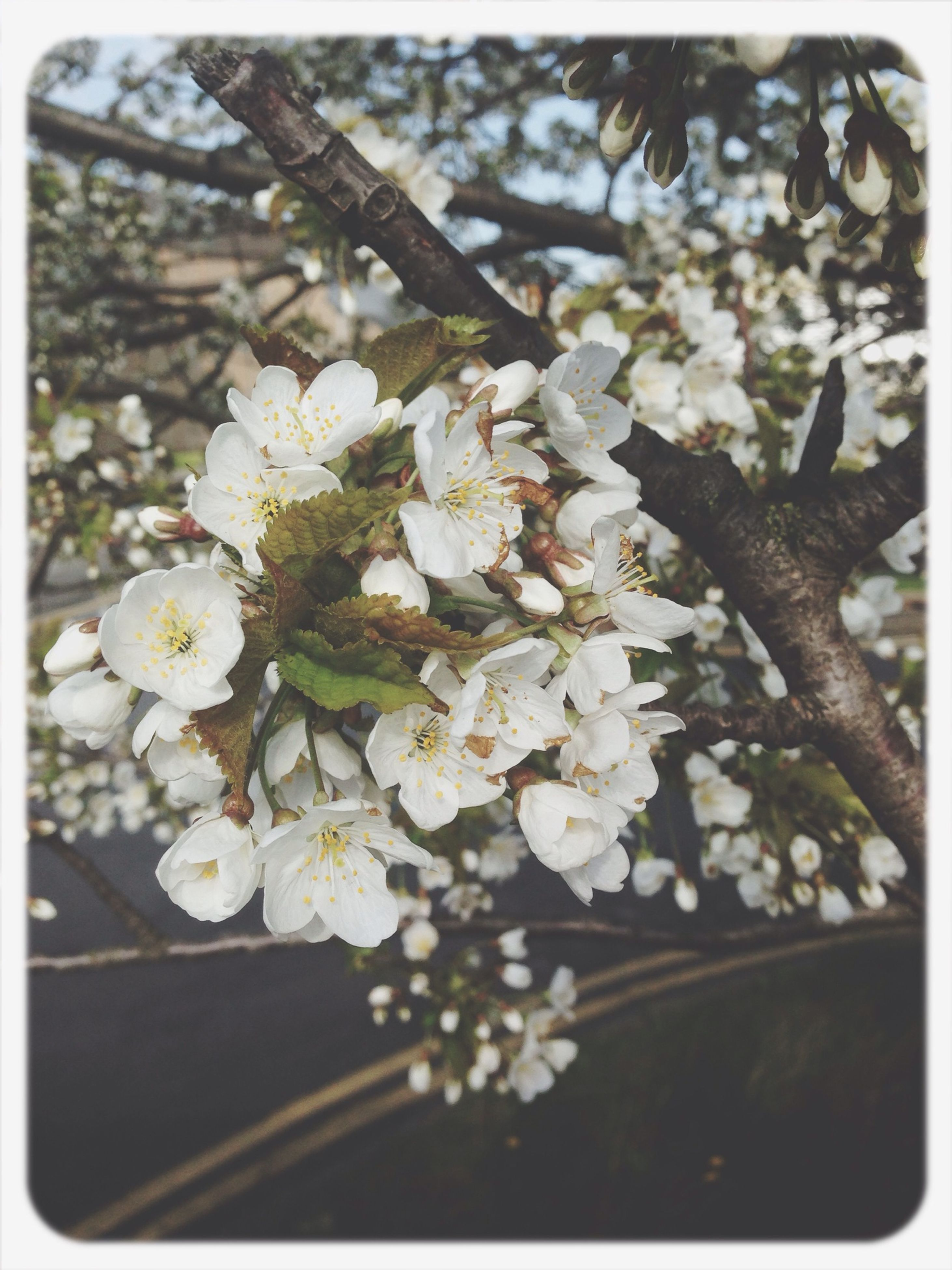 flower, freshness, fragility, transfer print, growth, petal, white color, beauty in nature, nature, auto post production filter, flower head, close-up, blossom, blooming, branch, in bloom, focus on foreground, botany, tree, springtime