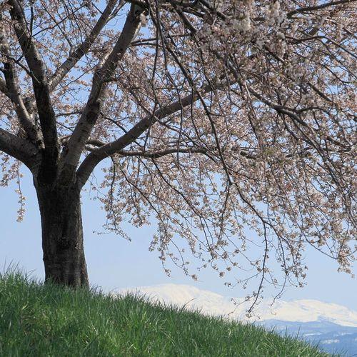 桜と月山 Cherry Blossoms Cherry Blossom CheryBomBom Spring Springtime Spring Flowers Flowers Mountain Mt.Gassan Tsuruoka