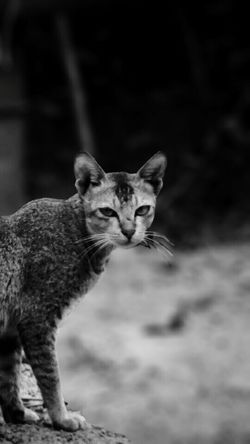 One Animal Animal Animals In The Wild Feline Animal Themes Animal Wildlife Mammal Domestic Cat No People Portrait Outdoors Day Leopard Nature Close-up Photography Themes