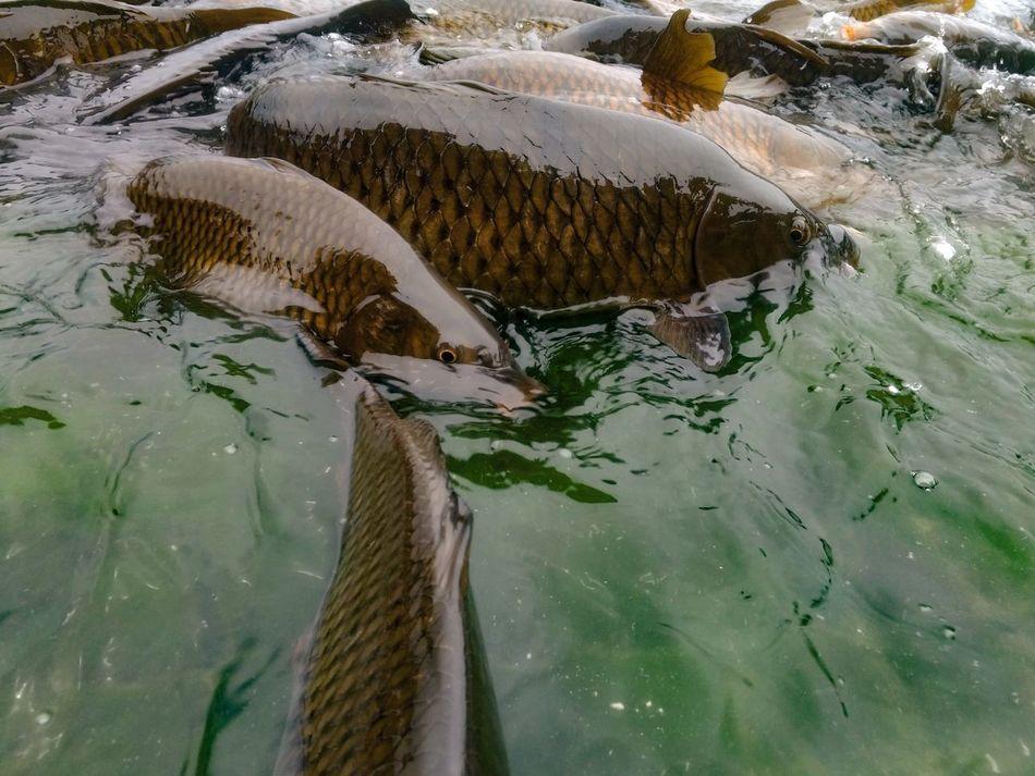 EyeEmNewHere Water Nature Reflection Beauty In Nature Fishes Mansar Lake, JammuandKashmir Indian Mobilephotography Motog4plus Wildlife & Nature Wildlife Photography Udhampur