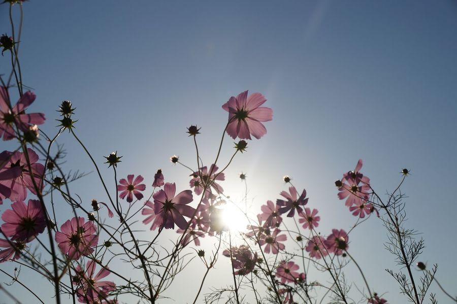 Flower Sky Pink Color Blossom Nature Sun Day Art Beautiful Travel Potographer Poto Shiny Life 취미